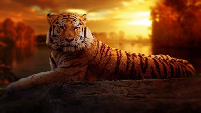 tiger-1741443_1280